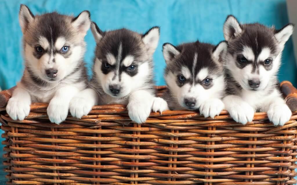 prenoms courts de chiens husky