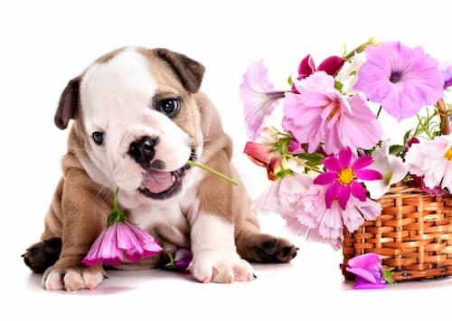 Bouledogue anglais à côté d'un panier de fleurs