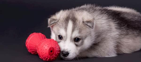 chiot mâle de la race husky