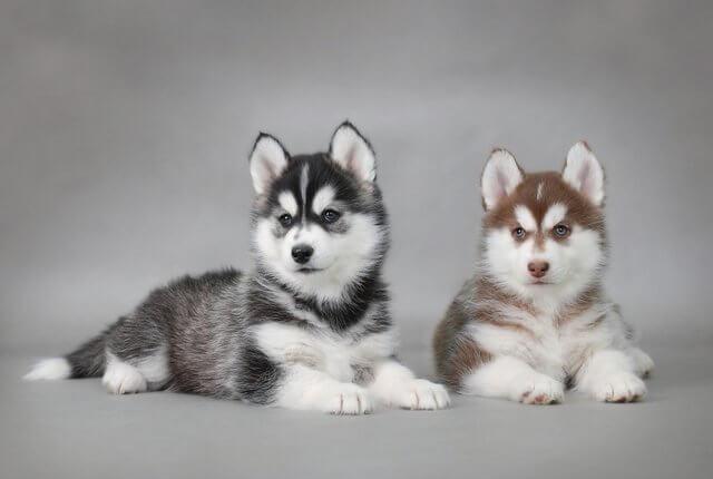 deux chiens husky couchés