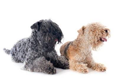 deux chiens mâles et femelles originaux
