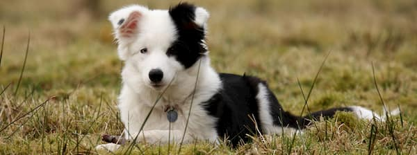 Noms de chiot Border Collie