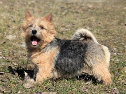 Noms des races de petits chiens