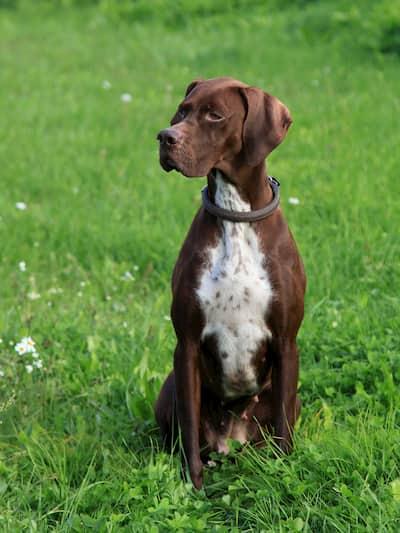 chien de chasse brun et blanc