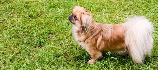 chien pékinois chinois