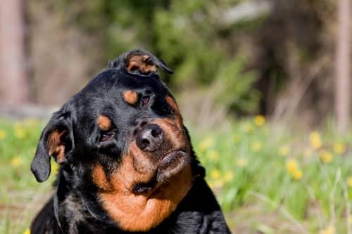 rottweiler femelle tournant la tête