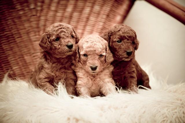 trois chiots de caniche