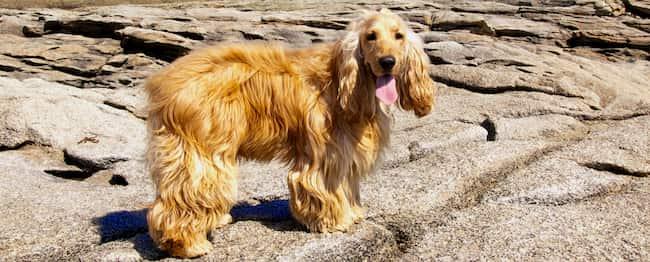 chien cocker dans les îles grecques
