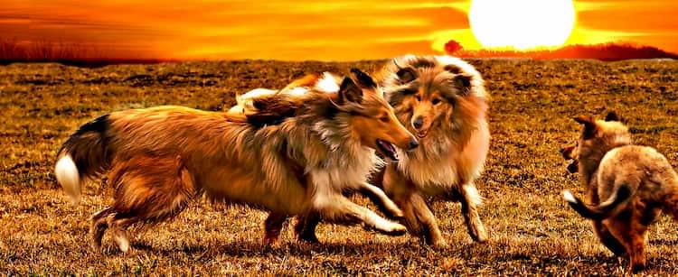 chiens coréens dans la brousse