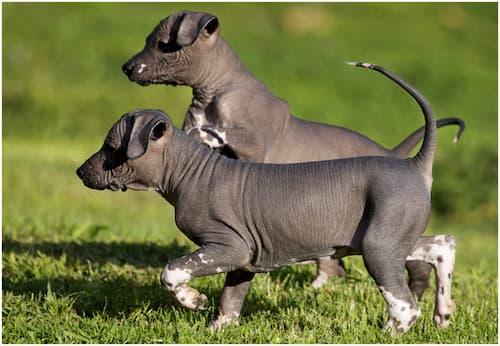 chiens mexicains sans poils