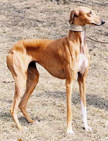 noms africains pour chiens