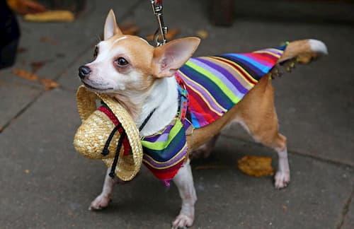 petit chien mexicain