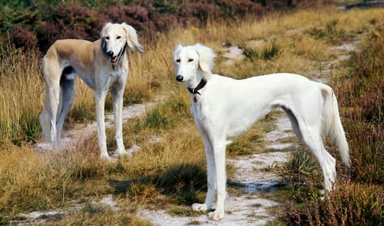 Noms de race Saluki pour chiens arabes