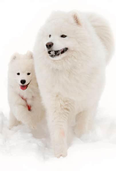 Race de chien Samoyède nordique