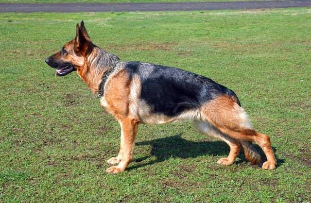 Berger allemand mâle dans l'herbe