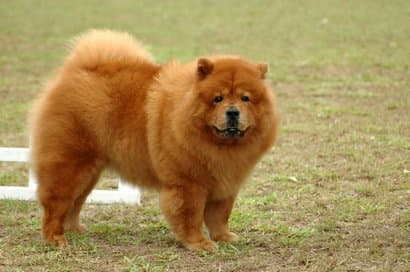 chow chow gros chien