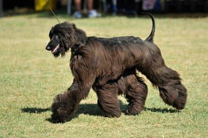 gros chien noir