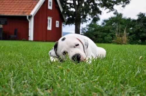 Chiot Pitbull couché sur l'herbe