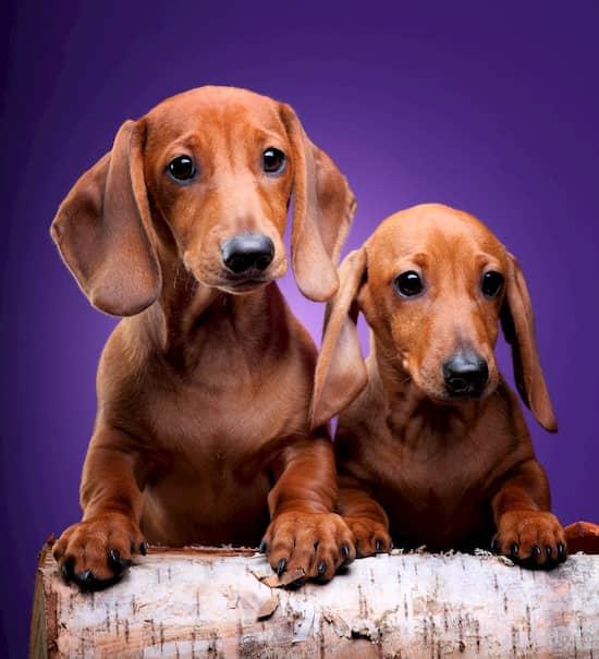 teckel-race-deux-chiens