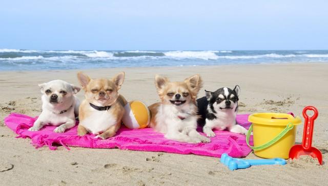 4-chiens-chihuahua-sur-la-plage