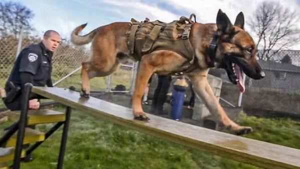 Chien-policier-faire-des-exercices-de-formation