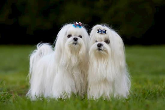 Superbes femelles bichon maltais aux cheveux blancs