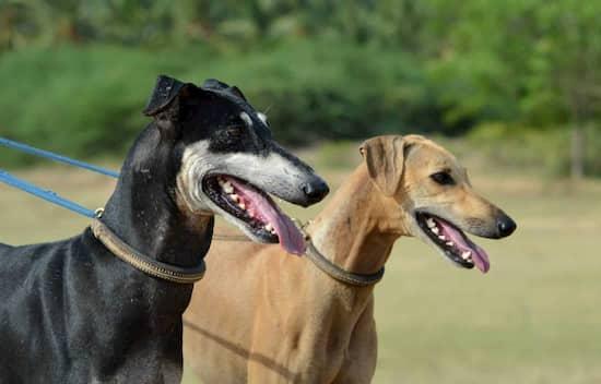chien mâle et femelle en Inde
