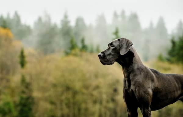femelle-grand-dogue allemand