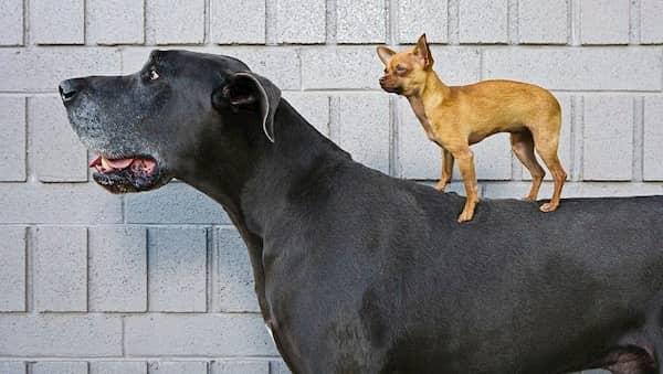 grand mâle noir avec un petit chien sur le dessus