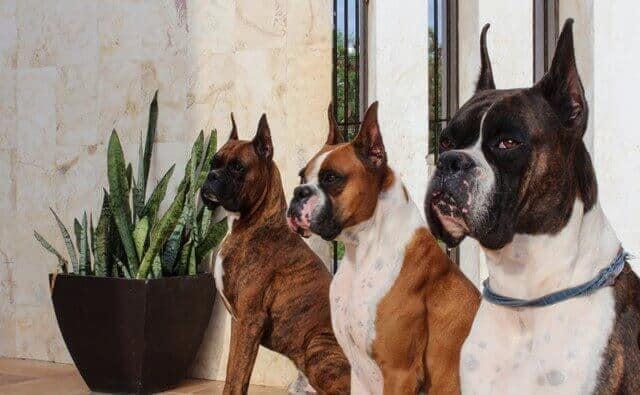 noms pour chiens boxer adultes