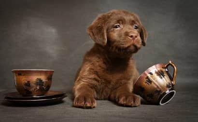 Chiot Labrador Retriever chocolat