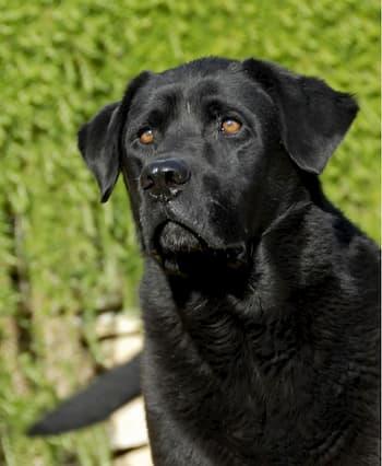 labrador noir avec 3 ans